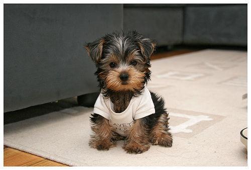 Yorkie Poo Dog